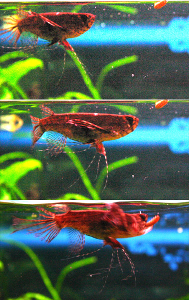 African butterfly fish tropical fish forums for African butterfly fish